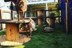 K9Grass Backyard for Goats and Tortoises