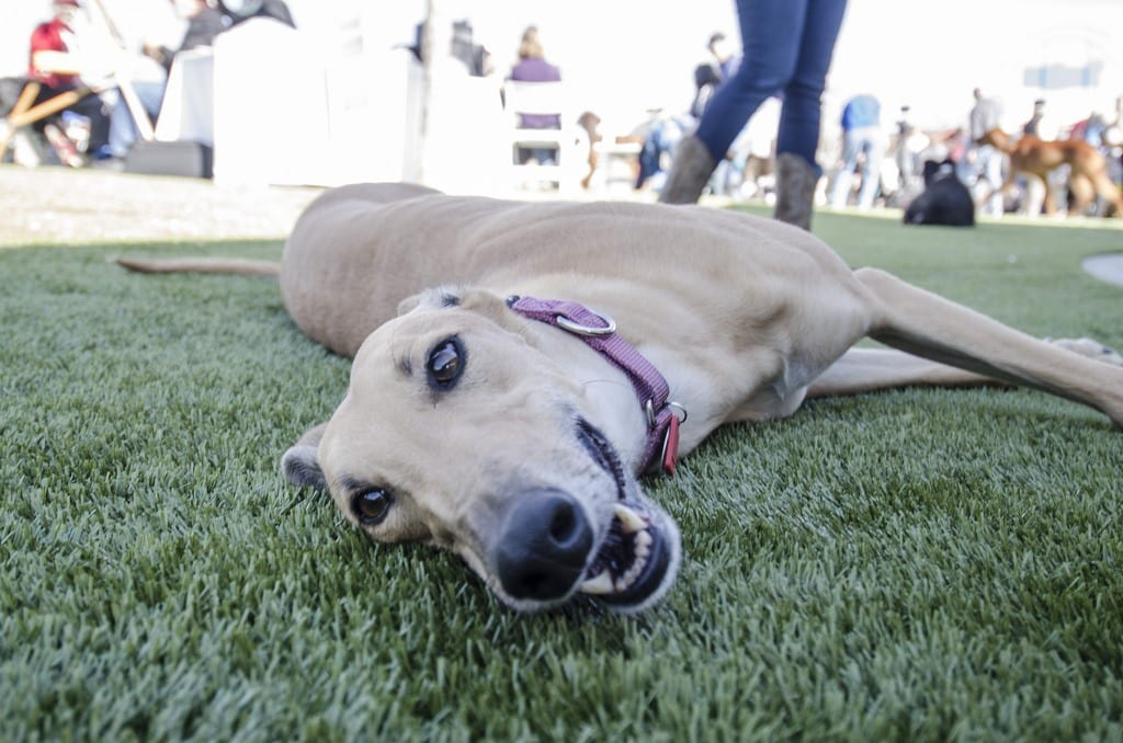 Dog laying on K9Grass by ForeverLawn