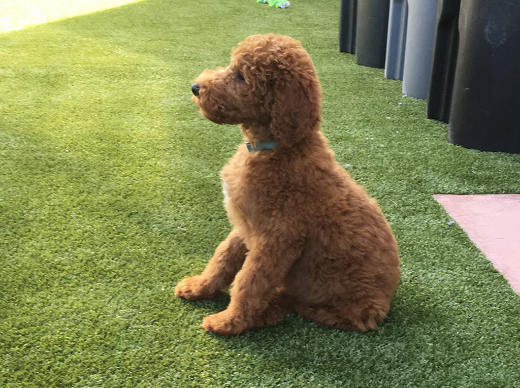 Dog sitting on sunny K9Grass by ForeverLawn in residential backyard