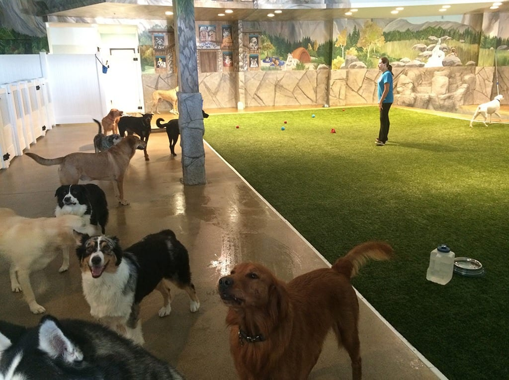 Dogs playing in indoor K9Grass area of Doggy Daycare & More