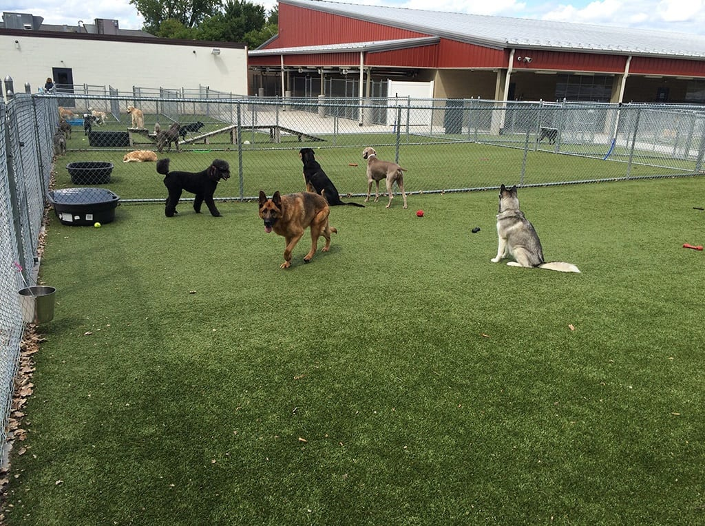 Dogs playing in K9Grass outdoor play area at Whiskers Pet Resort