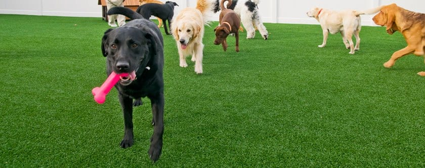 Dogs running and playing on K9Grass by ForeverLawn