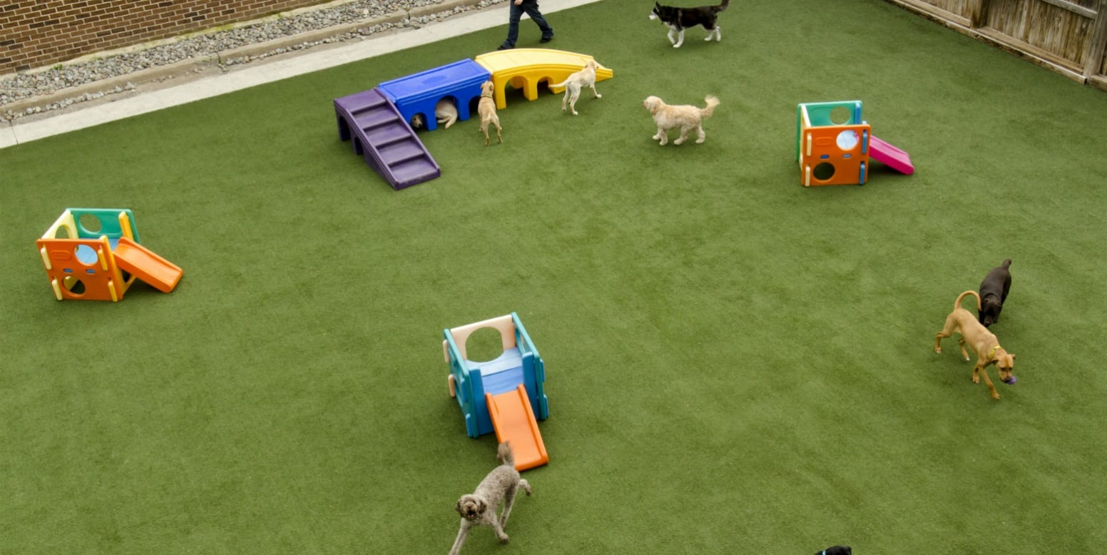 Dog playing on K9Grass Classic installed at Affectionate Pet Care