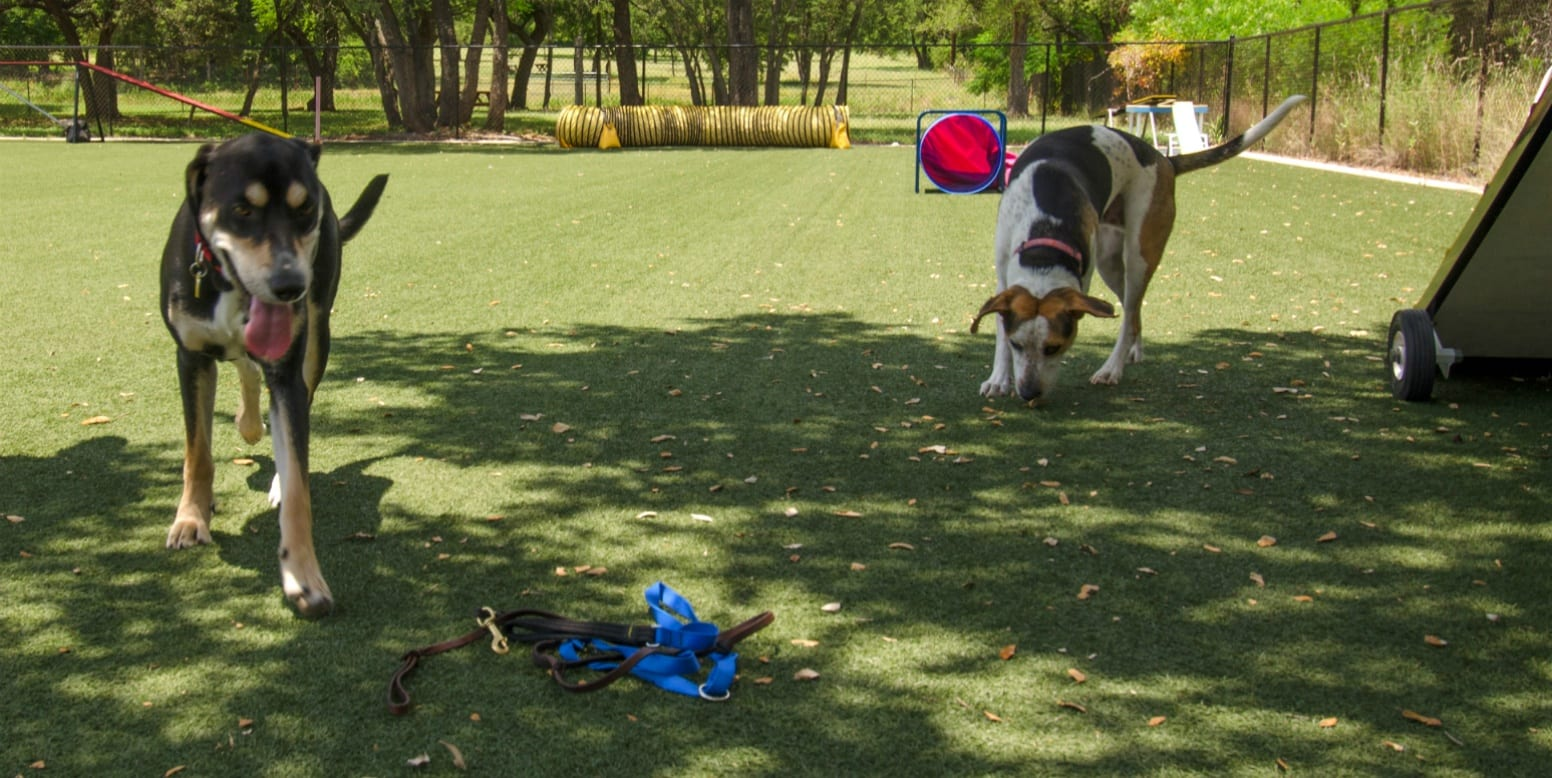 Dogs playing on K9Grass Lite at Austin Dog Alliance