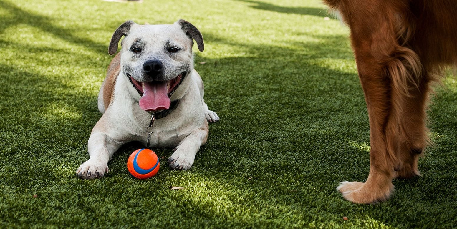 Dog with Ball Laying on K9Grass at West Hollywood Dog Parks