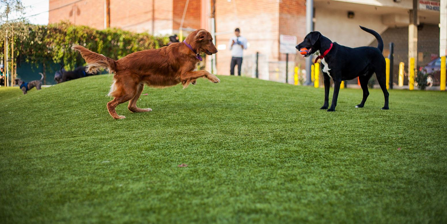 Two Dogs Playing on K9Grass at West Hollywood Dog Parks