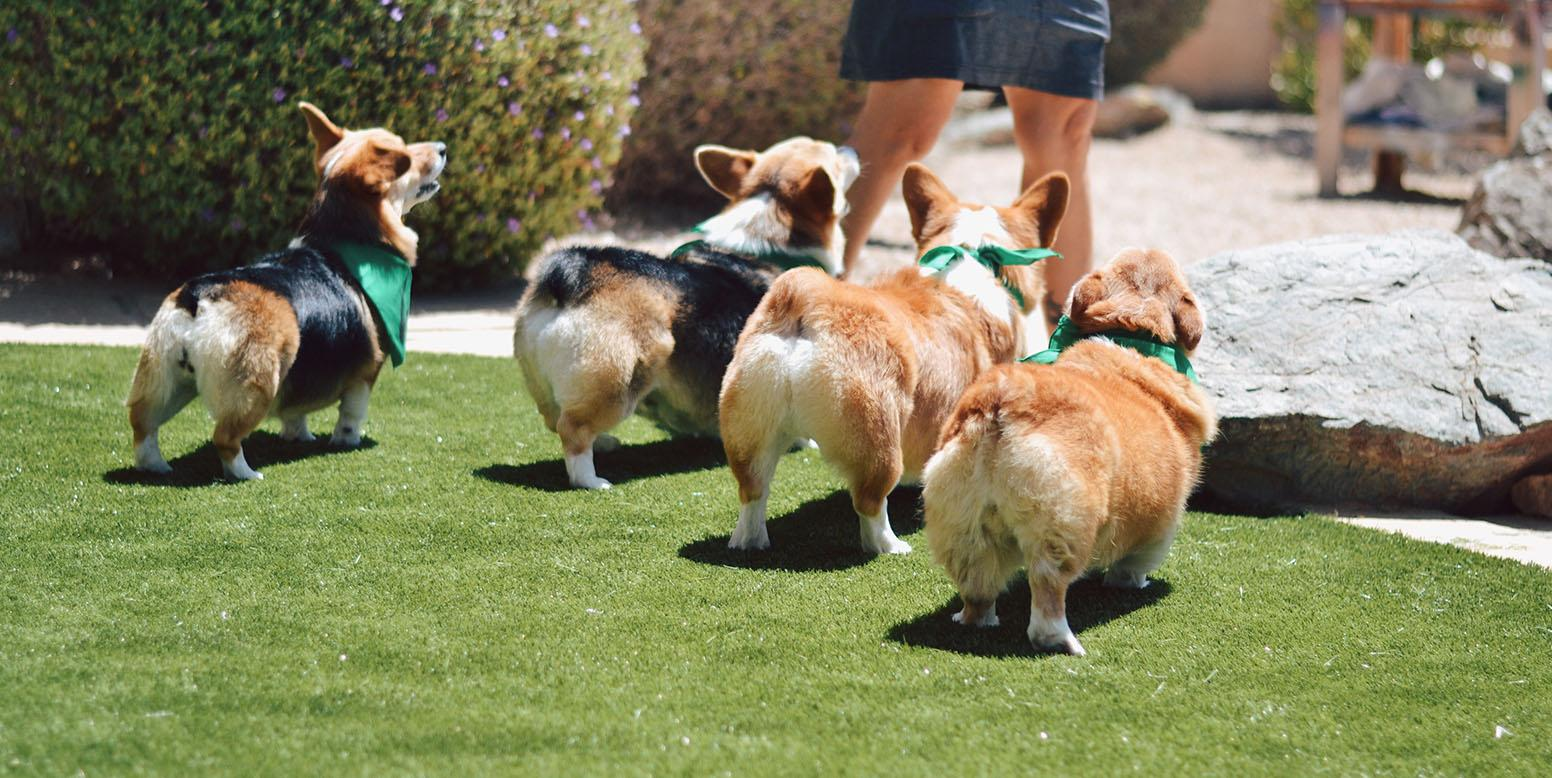 Rescue corgis with their owner in Arizona backyard featuring K9Grass Classic by ForeverLawn