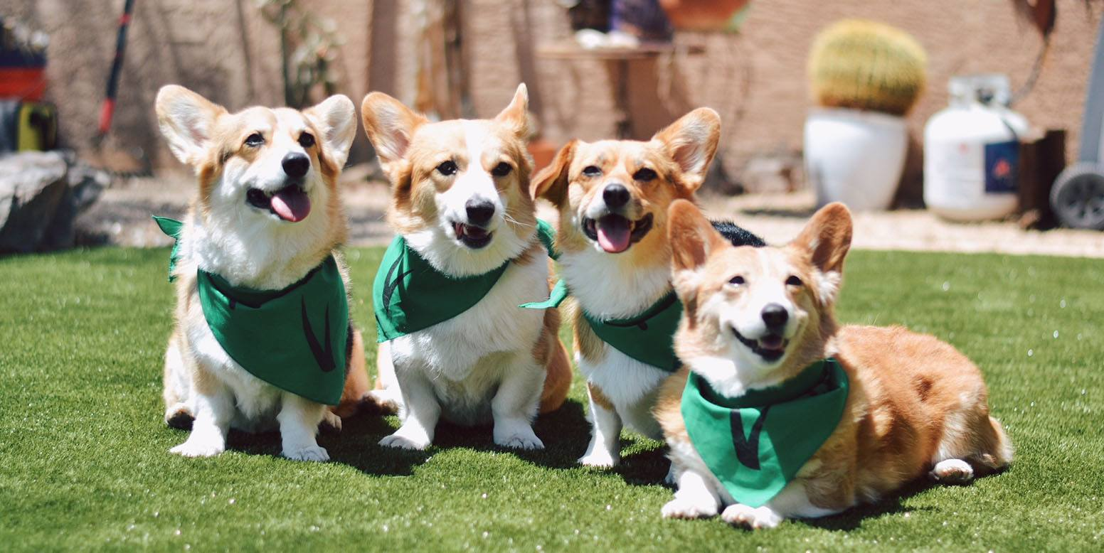 Rescue corgis in Arizona backyard featuring K9Grass Classic by ForeverLawn