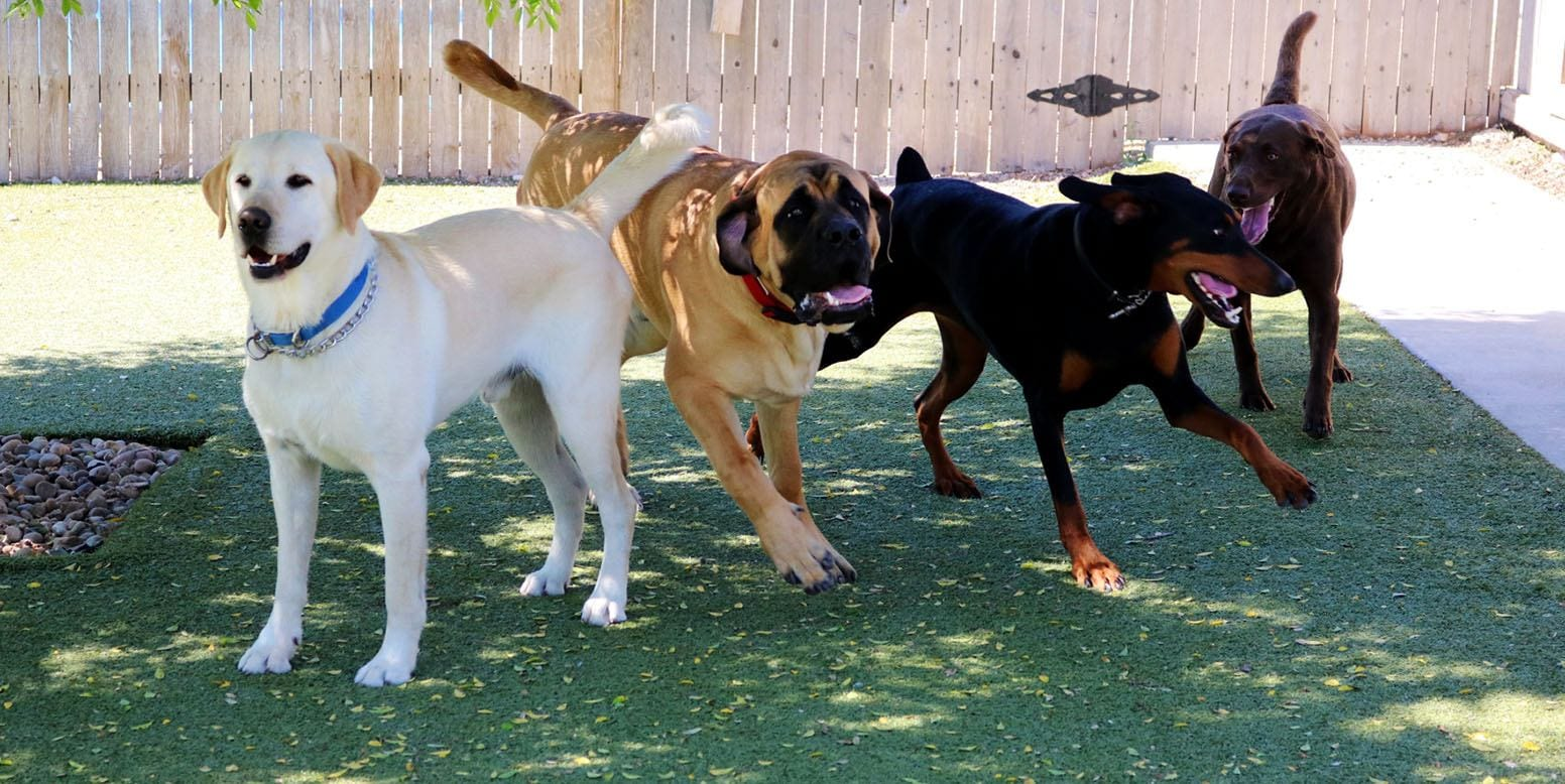 Dogs playing on K9Grass Classic by ForeverLawn at Le Chateau Pet Resort in Amarillo, TX