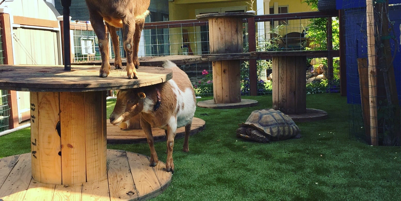 Goats playing on K9Grass® Classic by ForeverLawn at a San Diego residence