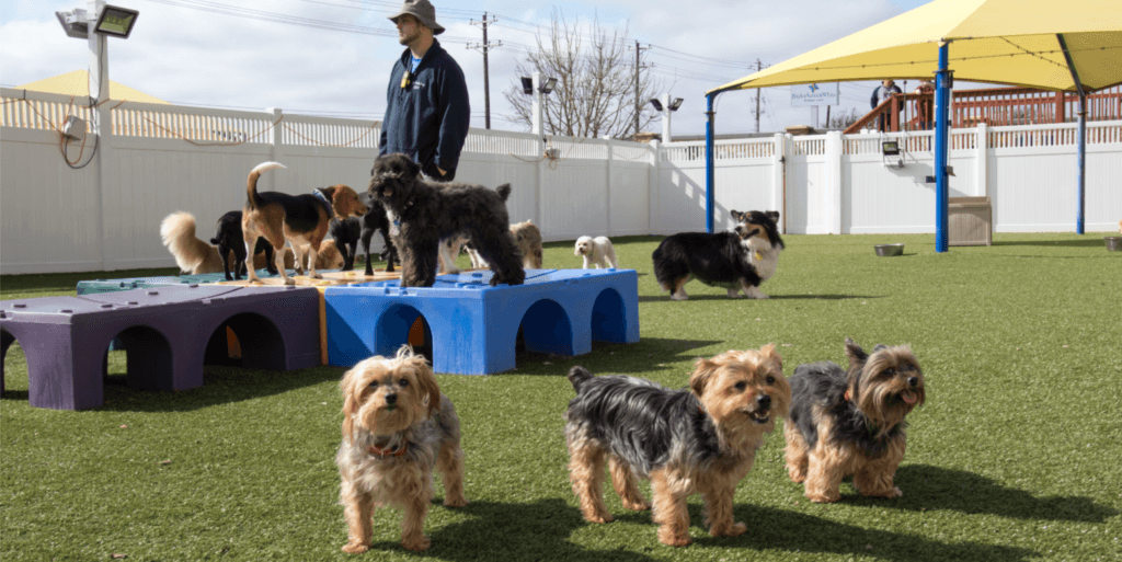 Yorkies playing on K9Grass by ForeverLawn at 2nd Family Dogs boarding and grooming facility in McKinney, TX