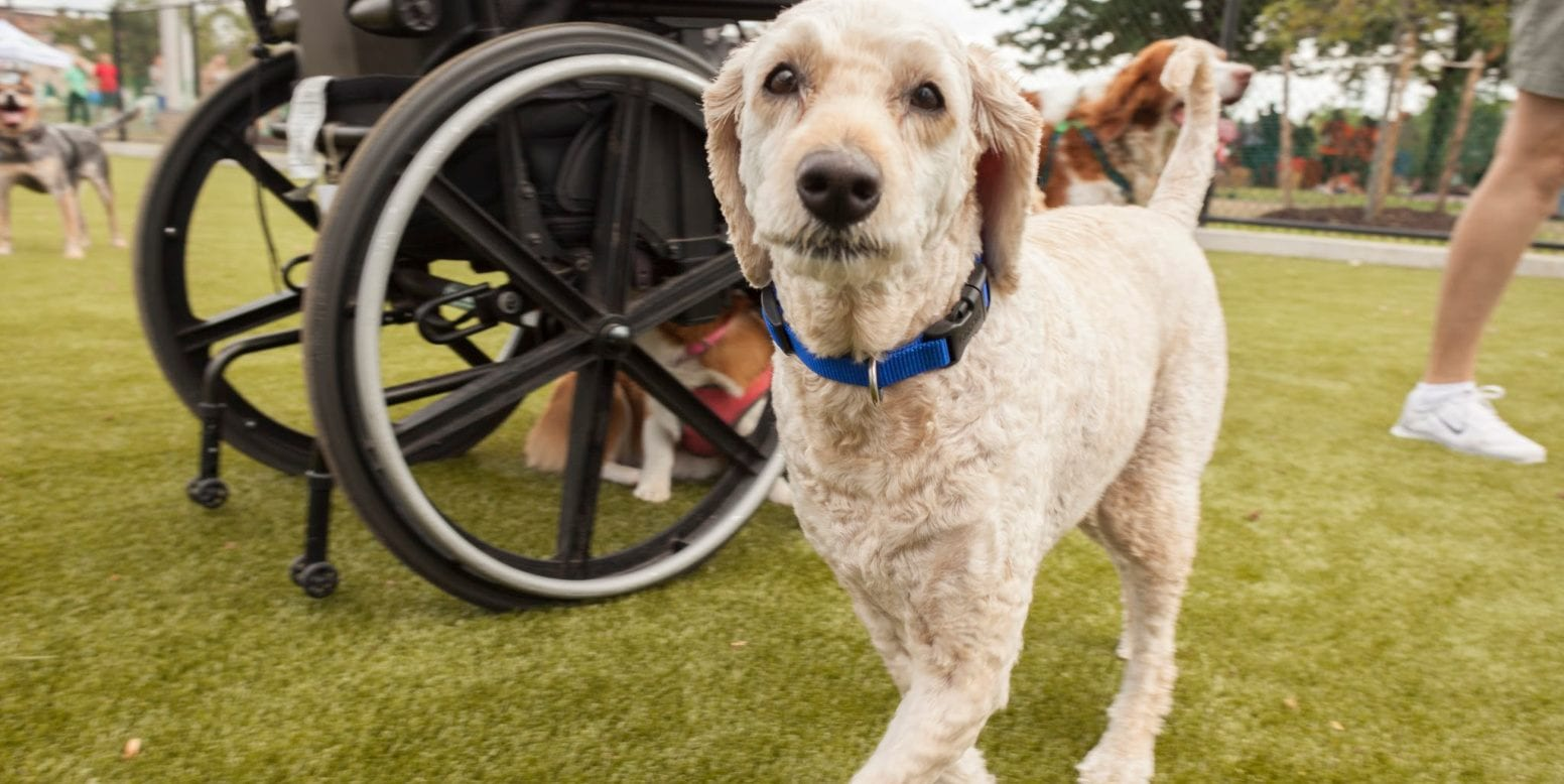 Dog and wheelchair on K9Grass by ForeverLawn at the Lanier Playground Dog Park in Philadelphia, PA