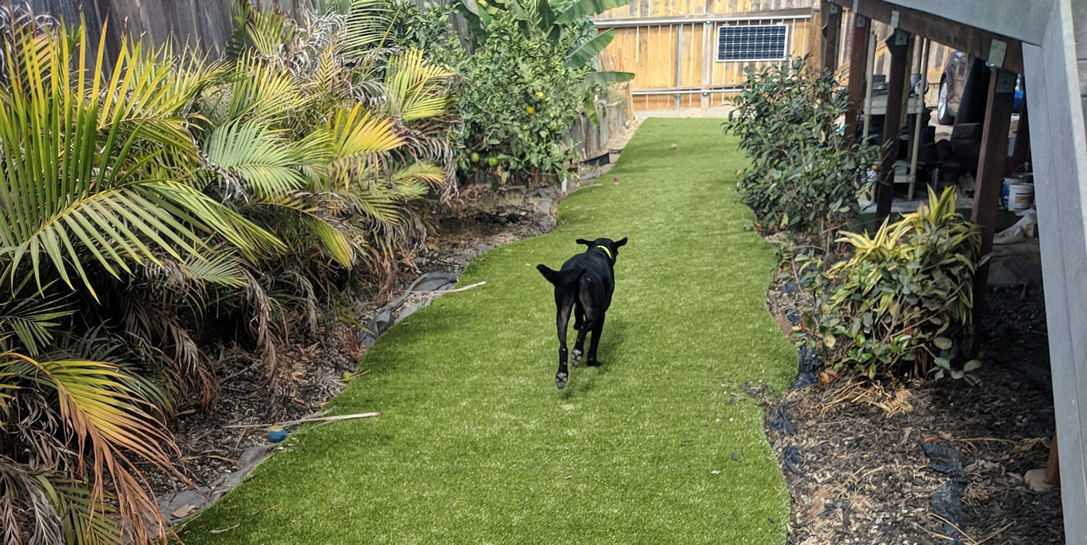 Doom, a black lab, walking on K9Grass by ForeverLawn at a San Diego residence