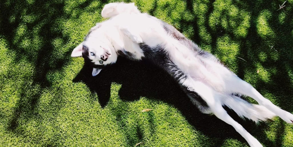 Dog on K9Grass by ForeverLawn at a Scottsdale residence