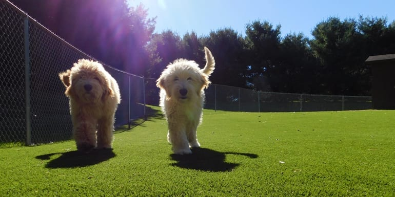 Dogs on K9Grass synthetic turf at North Canton, Ohio, residence.